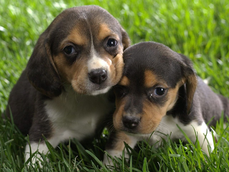 BABY BEAGLES. If you don't love them, we can't be friends. (Image: teebolt.com)